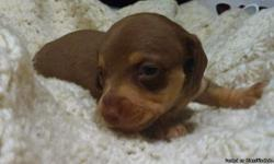 I have a litter of chocolate and tan shorthair dachshund puppies. We have males and females available. puppies will come with first shots and worming. contact me for mor info at 3023678010 call or text!