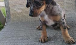 Dachsund x rat terrier crosses. Dam is 10 lbs and a full blood miniature rat terrier Sire is 8 lbs and full blood miniature dapple dachsund. Brown and tan male $100 Black and tan male $100 Grey dapple male with natural bob tail. $150 All have good