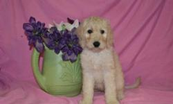 Say hello to Daisy the female F1b Labradoodle. She is full of energy and loves to play and be loved on. There?s a reason they?re not guard dogs? neither the Labrador or Poodle breed has any aggression or ?nasty? in them. They are convinced everyone loves
