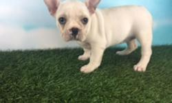 This beautiful white French Bulldog is Darla and she' is AKC registered. She just loves playing with her toys and giving puppy kisses. She was born June 1, 2016. She will come to you up to date on shots and worming. Don't pass up on this little dear one