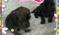 Only two females left! Best of the litter! Darling 7wk mini chocolate dapple dachshund puppies. Both are female. Eating solids anyd drinking on their own. Both little girls are a little over a pound each and will be a maximum of 8-10 pounds. Both parents