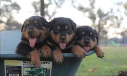 Rottweiler puppies for pet lovers. They are 12 weeks old, vet checked, dewormed and have all vet records up to date. . Text Only Via (530) 522-8115