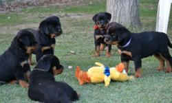 Special little Rottweiler puppies They have their first set of shots, their tails docked, and dew claws removed. Text Only Via (530) 522-8115