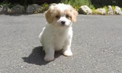 """Marcelle"" is the sweetest little female Cavachon puppy! She loves to cuddle, and is very affectionate! - Mother: Cavalier King Charles Spaniel - Father: Bichon Frise - 9 weeks old - Health Guarantee - Current on Vaccines - 7-11 lbs : Adult Weight - Vet"