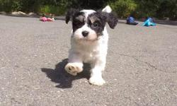 "Come and see ""Murphy"", our adorable male Cavachon puppy! He's very cute and playful! - Cavalier King Charles Spaniel x Bichon Frise - 9 weeks old and Ready to Go Home! - One Year Congenital Health Guarantee - Current on Vaccines - Adult Weight : 9-12 lbs"