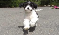 """""""Quinn"""" is the sweetest little male Cavapoo puppy! He has the most adorable personality, and he loves to play! - Cavalier King Charles Spaniel x Bichon Frise - 11 weeks old and Ready to Go Home! - One Year Congenital Health Guarantee - Current on Vaccines"""