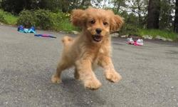 """""""Harley"""" is our gorgeous male CavaPoo puppy! He loves to run around and play! - Cavalier King Charles Spaniel x Toy Poodle - 11 weeks old and Ready to Go Home! - One Year Congenital Health Guarantee - Current on Vaccines - Adult Weight : 13-18 lbs - Vet"""