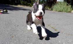 """Come visit """"Maverick"""", our gorgeous male Frenchton puppy! he has the cutest personality, he will melt your heart! - French Bulldog x Boston Terrier - 9 weeks old and Ready to Go Home! - One Year Congenital Health Guarantee - Current on Vaccines - Adult"""