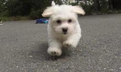 """Come check out """"Maddox"""", our designer male MaltiPoo puppy! He's a little shy at first, but he's the best when he warms up to you! - Cavalier King Charles Spaniel x Bichon Frise - 10 weeks old and Ready to Go Home! - One Year Congenital Health Guarantee -"""