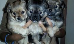 10 week old designer purse puppies. yorkie,palm mix. all males , have started there puppy shots. The light brown is sold.