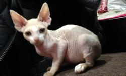 Hello. I have one male Devon Rex kitten available for sale. He was born on February 12 and has been dewormed. He is very energetic and has tremendous unconditional love for people. For more questions and/or pictures, please email, call, or text 646