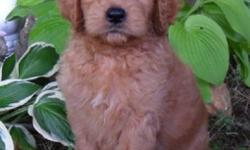 Ciao! I am Dexter, the endearing red and white male Goldendoodle. I was born on June 13, 2016 and I weigh 7.7 lbs. right now. My mom is Gold AKC Golden Retriever and weighs 65 lbs. My Dad is a Apricot AKC Standard Poodle and Weighs 75