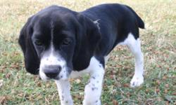 Howdy Folks! My name is Dixie the loving femaleBeagle/ Cocker Spaniel Mix.I've been told I am too adorable to resist.. I was bornon April 23, 2016.They are asking $499.00.00 for me.Iwill come with myshots to date