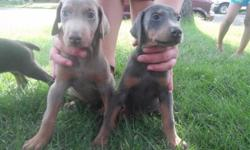 Hi im selling my puppies for 550.00. They are ready to join your families 6 females 1 male all fawn and blue tails and claws dew mom and dad are on site plz call 7208006101 / 7202278356
