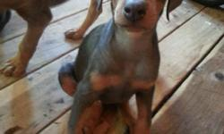 Hi im selling Doberman puppies they are 8 weeks have tails and claws dew baby shots their are 6 females 1 male only have fawn and blue colors plz call 7208006101 Price:$450.00