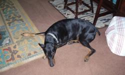 7 year old Dobie, black and tan, great with kids, listens well, house trained, needs good home with lots of running room.