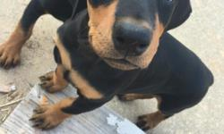 AKC registered female doberman puppies for sale. only two females, tails have been docked and dew claws have been removed, they are up to date on all vaccines. call for more information. 678-749-0726