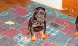 ALL BLACK & RUST 2FEMALES & 1 MALE, 5WKS OLD, ARE NOT REGISTERED. MOTHER IS AKC BLUE. CALL FOR DETAILS. REDUCED PRICE ON 1-28-10