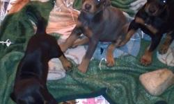 3 - BLACK/TAN 1 - BLUE... All males, tails docked, dew claws removed. Needing a dog loving home. Sept. 24th turned 8 weeks old. If wanting a new addition to your family feel free to contact me. email if wanting one... shaeymarie2000@yahoo.com Cell#