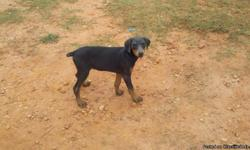 this is a blue and rust doberman puppy she is 9 weeks old AKC reg she is very sweet good with kids and other anmials. thanks