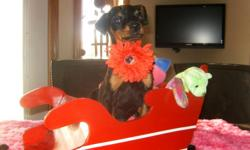 Introducing Holly, She is in Santas sleigh and ready to go. She is a very sweet doberman with lots of personality. Parents are 80-90 lbs with excellent temperament. Child tested and approved. She comes with her ears cropped, 1 yr health, first shots,