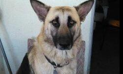 I have a 3 year old German Sheppard who is a male dog and very freindly, he likes to fetch a ball or stick, and also enjoys goining on walks. The dog is house trained. I can no longer keep the dog. If you want a fun dog this is your