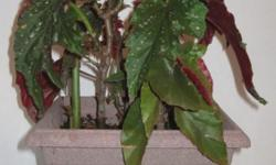 Moving to Peru. Everything must go. This is a Dragon Wing Begonia well established. Now $10.00.