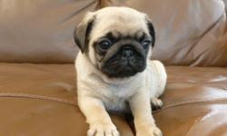 * Dream Pups Awaits you. Male and Female Pug Pups. they are healthy and ver smart, you can contact for more info CONTACT (313) 723-5160 FOR MORE INFO AND PICS