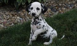 Hello There, I'm DUKE, the charming male AKC Dalmatian! Can you resist me with my lovely black and white spots? I was born on June 8, 2016. Mom weighs 48 lbs and my dad weighs 75 lbs. They're asking $795.00 for me! I will come with my shots and