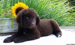 Hi there! I'm Duke, the affectionate  and gentle male Newfoundland AKC!  I was born on May 17, 2016 and family raised. I get a long with children and other pets. They're asking $950.00 for me! I'll come home with shots and worming to