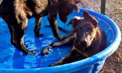 ONLY 2 LEFT!!! Dutch Shepherd/German Shepherd puppies for sale. One black & tan male & one dark/brindle female. Both are intelligent, alert pups that love love love water! The male is identical to the father and will be a large dog. The