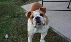 Tan and White Male AKC 10 months old not all the way house broken