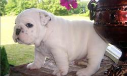 English Bull Dogs puppies for sell. .They are very socialize,,they are on current shots and will be coming with all health papers so if interested message me for more details and Pics and you can also contact or text us on () -