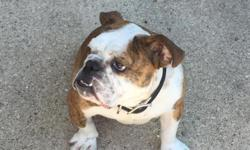 8 month old English Bulldog- Female. With papers- AKC- house trained- cage trained- microchipped. asking $1500 obo- paid $3200 I have all paperwork and shot records.