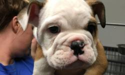 This sweet little boy is Red and White and comes AKC registered/registerable. He is very playful and loving. He will be ready for his new home on 5/2/16. He will come with a 1 yr health guaruntee (against any genetic defects), health certificate, and shot