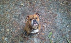 Three year old english bulldog. Nkc registered as a stud.