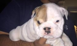 Accepting deposit ****Beautiful 6 week of age English bulldog male puppy DOB 3/28/15 lots of skin, ropes, thick, short structure. Very adorable , friendly and playful, mother on site. Includes first set of shots and deworming also FULL Akc papers.