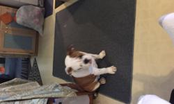 AKC Registered English bulldog male he is a 1 year old. Weighs 59-61lbs he has brown,white,and black in his colors. He isn't good with kids so he needs to go to a single family. He very hyper. I'm asking $1800 for him nothing less.