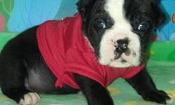 Hello i am short lilttle and chubby love to play and give kisses i am a full breed Rare Black and White English Bulldog Male name PANDA he is loving caring and loves kids and other animals and has shots and worming will come with shot records along with a