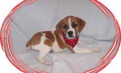 """This baby boy is a big love bug. He is crazy playful and loves to have fun. He is a English Bulldog and a Beagle mix-""""Beabull"""". He is ready for a new family to love.He is micro chipped.He comes with his first series of shots, wormings and a Vet Health"""