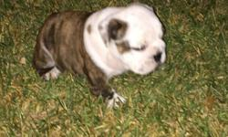 AKC champion sired registered puppies. 6 weeks old born 6-17-2016 ready for new homes August 10. First set of shots and dewormed. Vet checked.all records available.crate trained, potty trained. 3 males $500 deposit ( non refundable) will secure puppy.