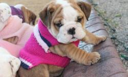 We have registered English bulldog puppies available. They are up to date on their shots and dewormings. You can view us and out bullies on our website. Www barnetts-bulldogs.com Shipping is available to most airports. We have past buyer references and