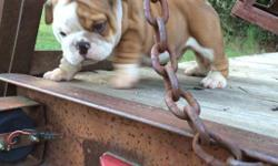 Top Quality House Trained English Bulldog Puppies. Call / Text at (478) 216-3686. All pups are up-to-date on all age appropriate shots and worming and come with a 1 year Health Guarantee. Our Bulldog puppies are very well loved and socialized, with