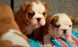 Male and female registered English Bulldogpuppies up for a good home. They are brother and sister,vaccinations, Health guarantee Meet our beautiful puppies! AKC registered, up to date on all shots and vaccinations,contact or text