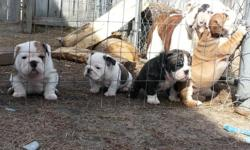 English Bulldog Puppies ready!! Price: 750 Breed: English Bulldog Age: 10 weeks All puppies come with akc pedigree registration, updated vaccination, health certificate by vet, and a one year health guarantee, boned and raised in our home around kids and