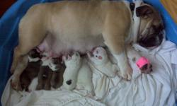 We are a small breeder of miniature and standard English Bulldogs located in central NH. All of our English Bulldogs are our pets, they are not left outside in a kennel they live with us as part of our family in our home. We are now taking deposits for