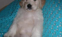 WE have nine beautiful English bred Golden Doodle babies six weeks old.. They have had their first shot and full exam by our veterinarian .. They will be ready to go home in two weeks.. The dam is English bred.. AKCGOLDEN,and sire is Standard