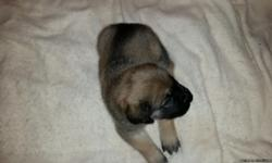 English Mastiff Puppies For Sale        ALL MALES      Born January 1st 2016  First shots and wormed. $800 Purebred No Papers      Will meet new owners half way.  2 hours