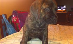 AKC English mastiffs puppy Just four left 500.00 1female apricot, 1 female brindle, 2 male brindle, Has had shots worming 30bls Call -- Wolfeknapp@yahoo.com