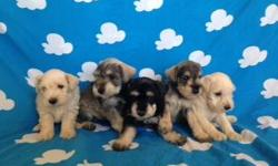 Especial- Schnauzer Minitoys!!, * 8 Weeks, * Are clean, * Healthy, * Playful, * Are Original, More Information call her please 9513768260. ----------------------------------------------------------------- Especial- Schnauzer Minitoys!!!, * 8 semanas, *